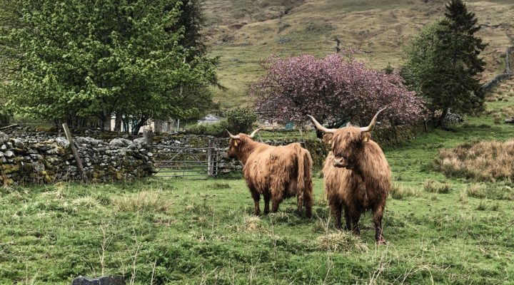Highland Cows & Blossom, Tobias Koepplinger (Routes page cluster)